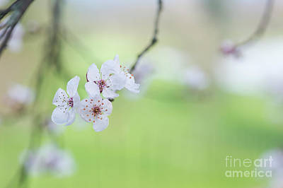 Purple Leaved Cherry Plum Blossom Poster by Tim Gainey
