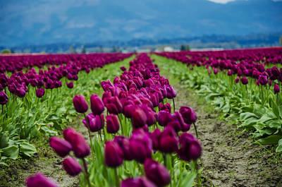 Purple Tulips Poster by Pelo Blanco Photo