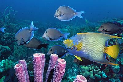 Queen Angelfish And Blue Tangs Poster by Georgette Douwma