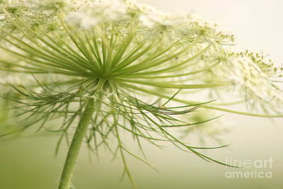 Queen Anne's Lace 3 Poster by Cindi Ressler