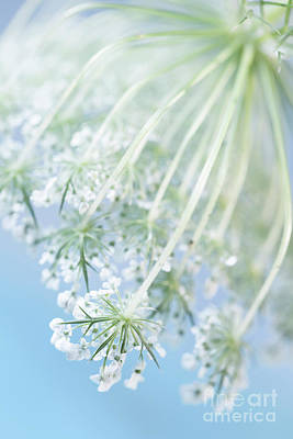 Queen Anne's Lace Poster by Masako Metz