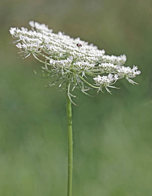 Queen Anne's Lace Wild Flower Poster by Jennie Marie Schell