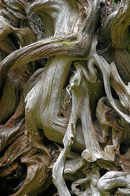 Quinault Valley Olympic Peninsula Wa - Exposed Root Structure Of A Giant Tree Poster by Christine Till