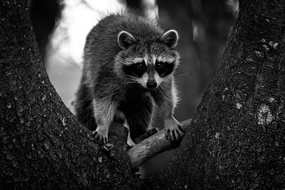Raccoon In A Tree Poster by Bob Orsillo