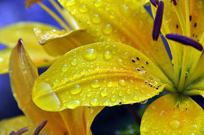 Rain Spotted Yellow Lily I 2009 Poster by Frank LaFerriere