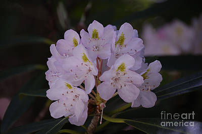 Randolph County Rhododendron Poster by Randy Bodkins