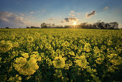 Rapeseed At Sunset Poster by Martin Podt