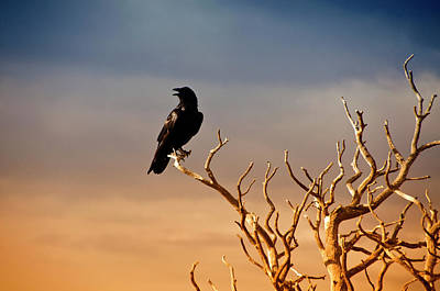 Raven On Sunlit Tree Branches, Grand Canyon Poster by Trina Dopp Photography