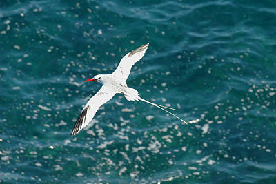 Red Billied Tropic Bird Poster by Alan Lenk