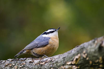 Red-breasted Nuthatch Poster by Christina Rollo