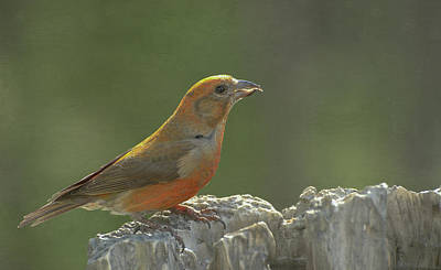 Red Crossbill Poster by Constance Puttkemery