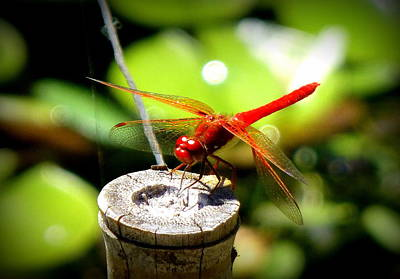 Red Dragonfly Poster by Lori Seaman