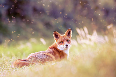 Red Fox And The Fairy Dust Poster by Roeselien Raimond