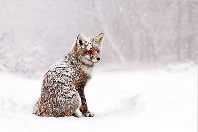 Red Fox In A White Winter Wonderland Poster by Roeselien Raimond