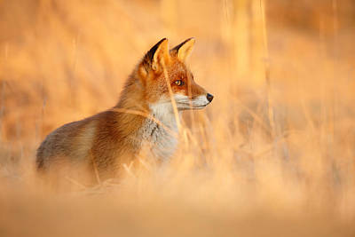 Red Fox In Red Light Poster by Roeselien Raimond