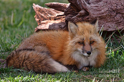 Red Fox Poster by Laurinda Bowling