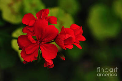 Red Geranium Poster by Kaye Menner