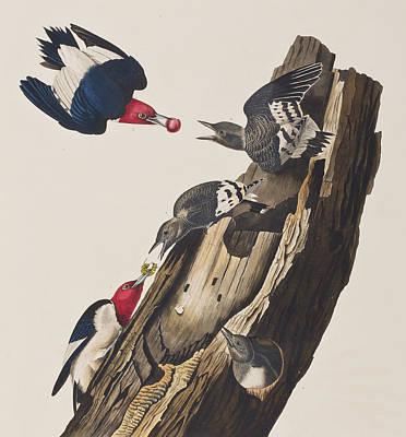 Red Headed Woodpecker Poster by John James Audubon