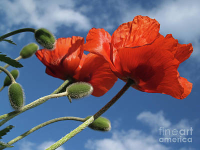 Red Poppies In Spring Poster by Anna Lisa Yoder