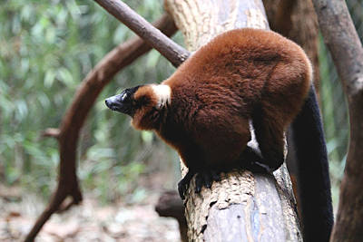 Red Ruffed Lemur Poster by Daniel Overton