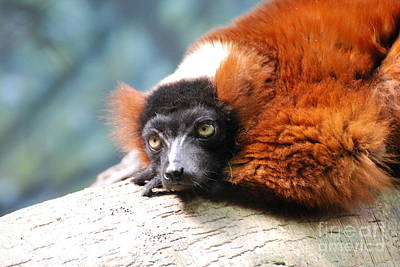 Red Ruffed Lemur Poster by DejaVu Designs