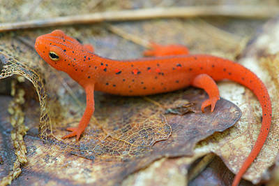 Red Spotted Newt  Poster by Derek Thornton