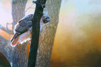 Red Tail Hawk Peek A Boo Poster by Barbara Hymer