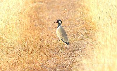 Red-wattled Lapwing Poster by Joviton Dcosta