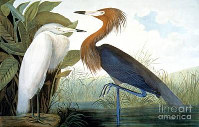 Reddish Egret, Poster by Granger