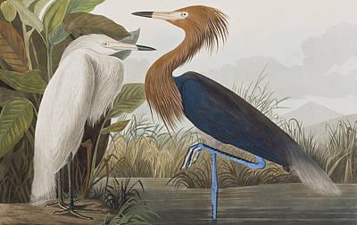 Reddish Egret Poster by John James Audubon