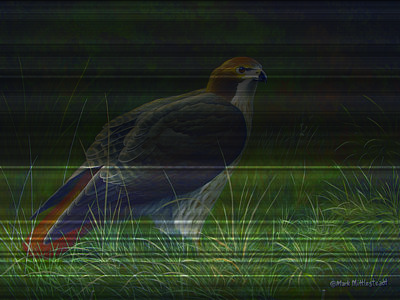 Redtail Hawk Poster by Mark Mittlesteadt