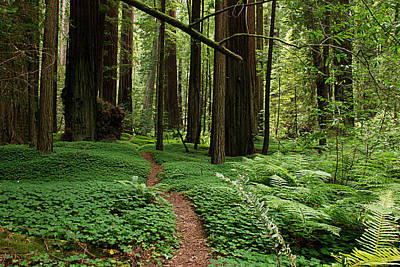 Redwood Forest Path Poster by Melany Sarafis