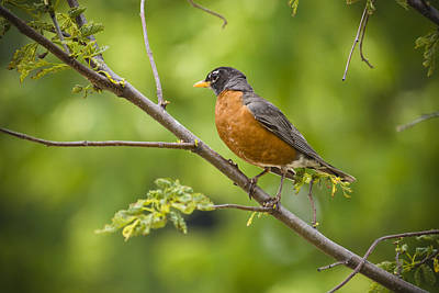 Resting American Robin Poster by Chad Davis
