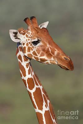 Reticulated Giraffe Poster by Richard Garvey-Williams