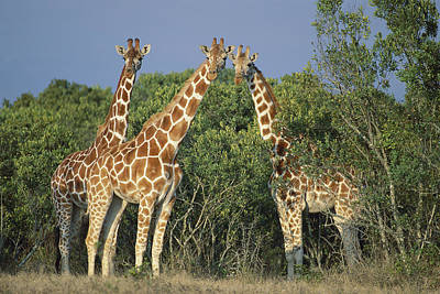 Reticulated Giraffe Trio Poster by Kevin Schafer