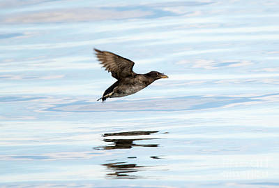 Rhinoceros Auklet Reflection Poster by Mike Dawson
