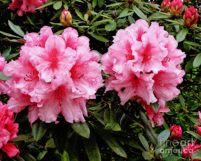 Rhodendron Hydon Dawn Poster by Jamie Gray