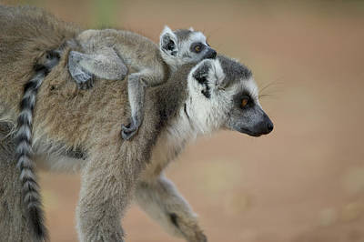 Ring-tailed Lemur Mom And Baby Poster by Cyril Ruoso
