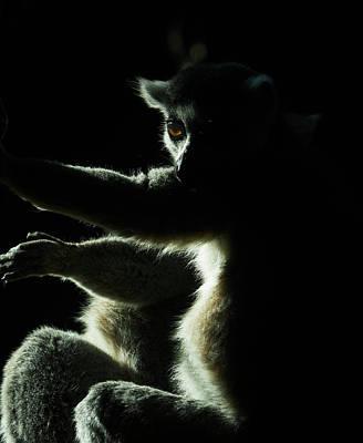 Ring Tailed Lemur Poster by Steven Ralser