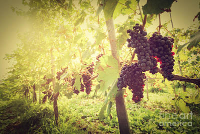 Ripe Wine Grapes On Vines In Tuscany Vineyard, Italy Poster by Michal Bednarek