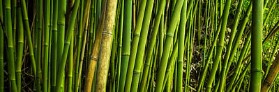 Road To Hana Bamboo Panorama - Maui Hawaii Poster by Brian Harig