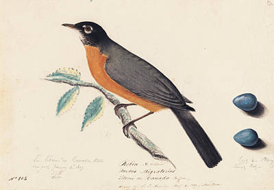 Robin Poster by John James Audubon