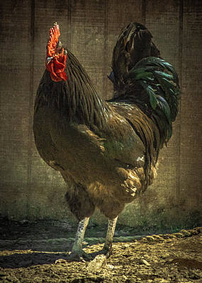 Rooster With Effect Poster by Rosette Doyle