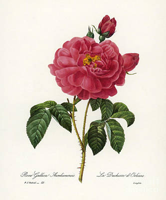 Rosa Gallica Poster by Granger