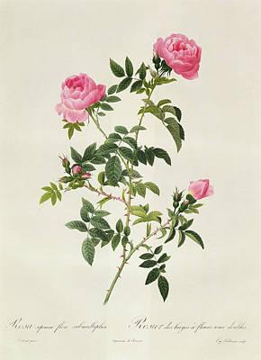 Rosa Sepium Flore Submultiplici Poster by Pierre Joseph Redoute