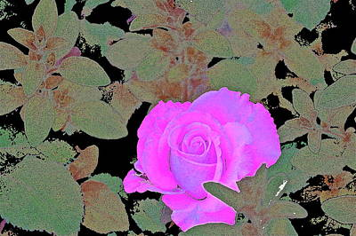 Rose 97 Poster by Pamela Cooper