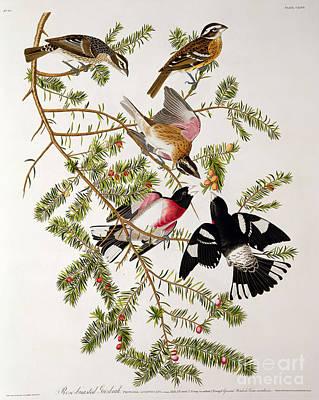 Rose Breasted Grosbeak Poster by John James Audubon