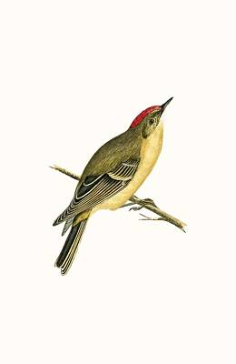 Ruby Crowned Kinglet Poster by English School