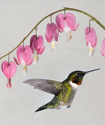Ruby-throated Hummingbird With Bleeding Hearts Poster by Lara Ellis