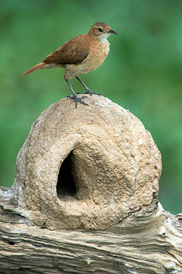 Rufous Hornero Furnarius Rufus On Nest Poster by Panoramic Images